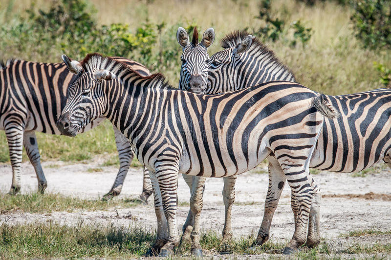 Group of Zebras bonding in Chobe. royalty free stock images