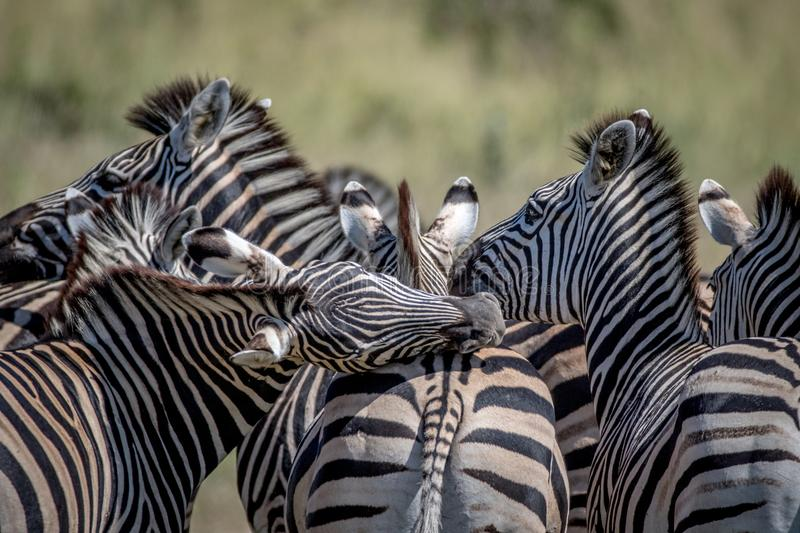 Group of Zebras bonding in Chobe. stock image