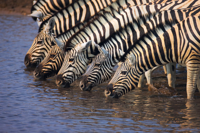 Group of Zebras drinking. A group of Zebras drinking water in a waterhole : Etosha stock photography