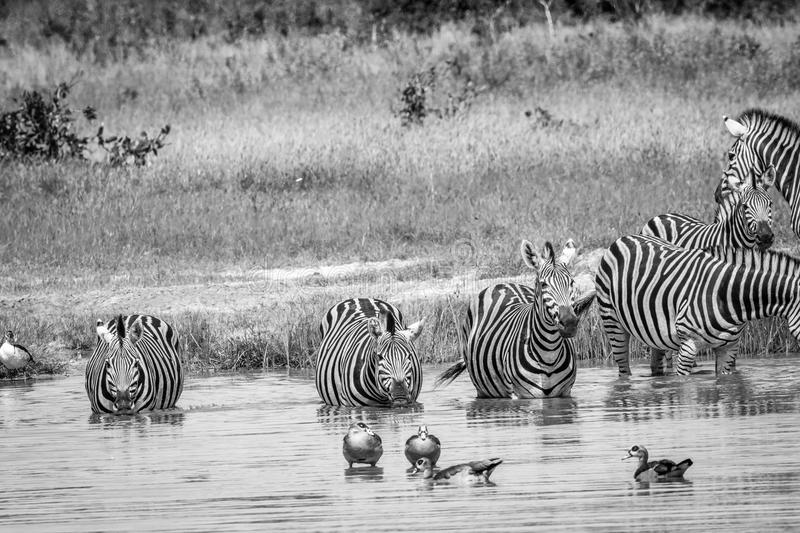 Group of Zebras drinking in black and white. Group of Zebras drinking in black and white in the Chobe National Park, Botswana stock images