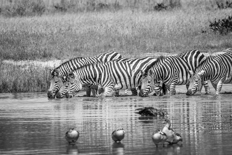 Group of Zebras drinking in black and white. Group of Zebras drinking in black and white in the Chobe National Park, Botswana royalty free stock image