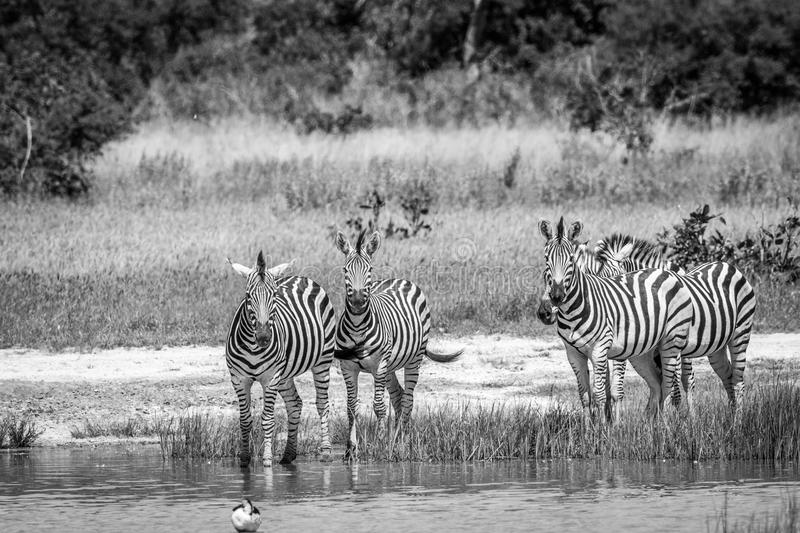 Group of Zebras drinking in Chobe. Group of Zebras drinking in black and white in the Chobe National Park, Botswana royalty free stock photo