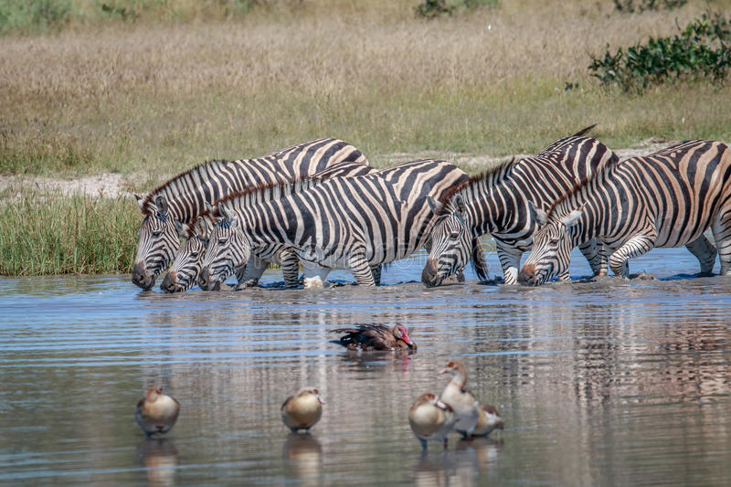 Group of Zebras drinking in Chobe. Group of Zebras drinking in the Chobe National Park, Botswana stock photos