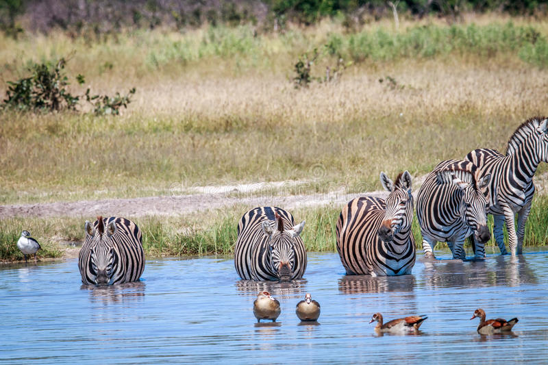 Group of Zebras drinking in Chobe. Group of Zebras drinking in the Chobe National Park, Botswana stock photo
