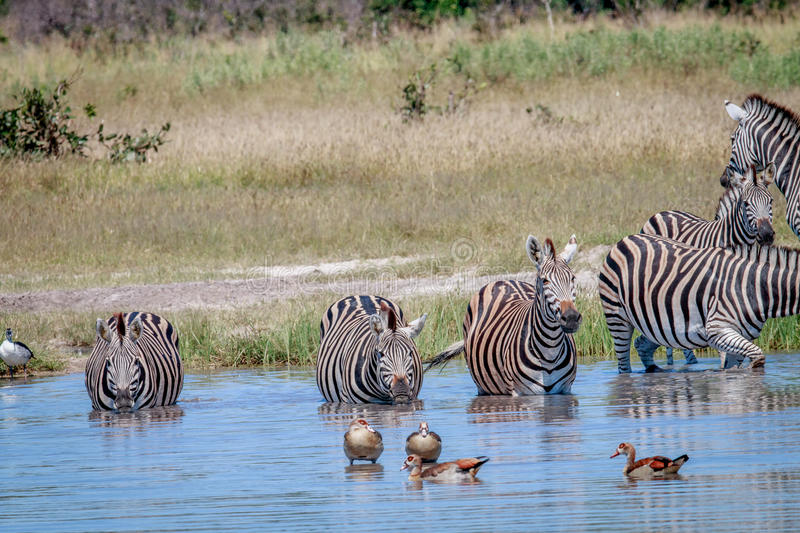Group of Zebras drinking in Chobe. Group of Zebras drinking in the Chobe National Park, Botswana royalty free stock photography