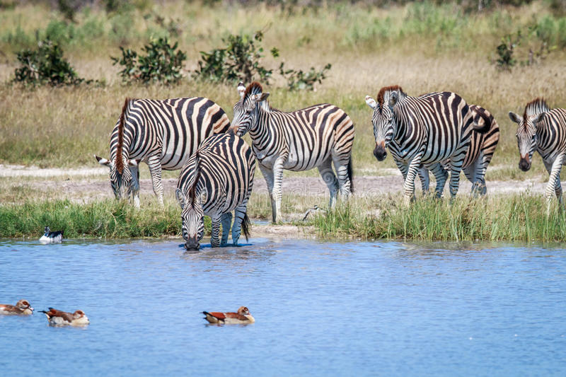 Group of Zebras drinking in Chobe. Group of Zebras drinking in the Chobe National Park, Botswana royalty free stock images