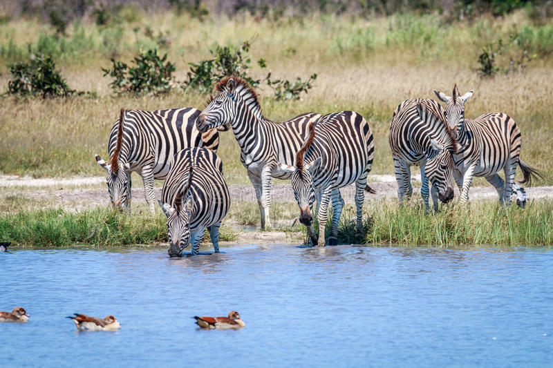 Group of Zebras drinking in Chobe. Group of Zebras drinking in the Chobe National Park, Botswana stock photography