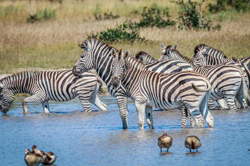 Group of Zebras drinking in Chobe. Group of Zebras drinking in the Chobe National Park, Botswana stock images