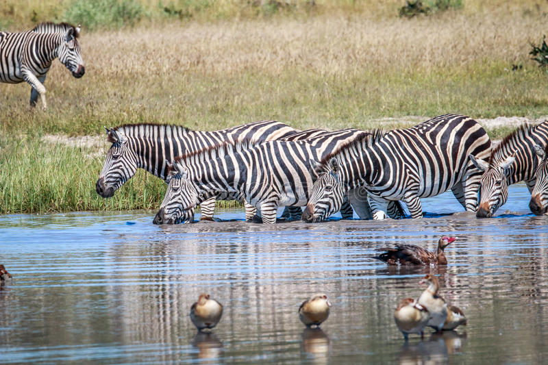Group of Zebras drinking in Chobe. Group of Zebras drinking in the Chobe National Park, Botswana royalty free stock photos