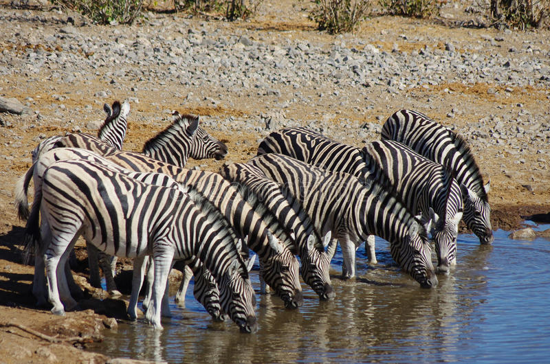 Group of zebras drinking. Together royalty free stock images