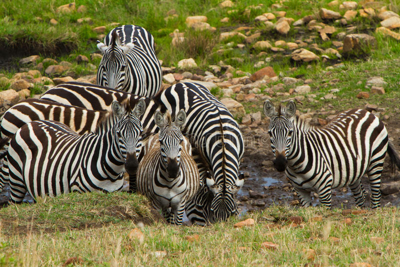 A group of zebras drinking water. Near the river in Masai Mara, Kenya stock images
