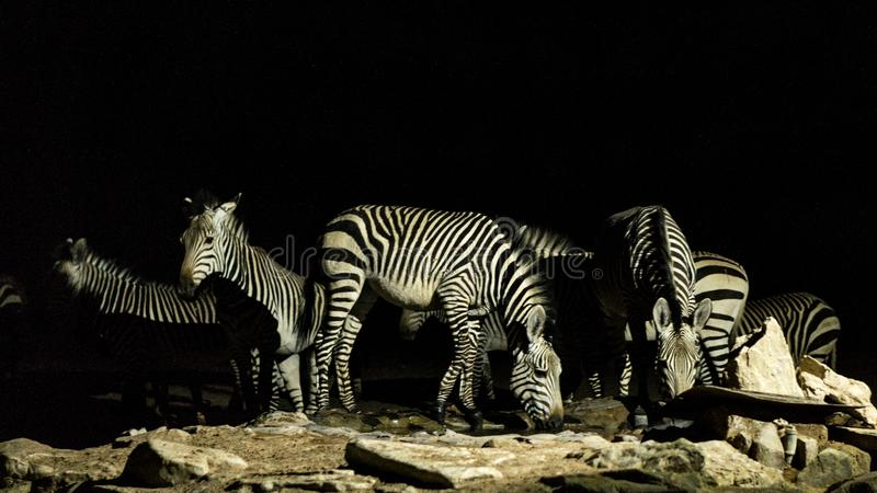 Group of Zebras drinking water. Big group of zebras drinking water at night in Namibia royalty free stock images