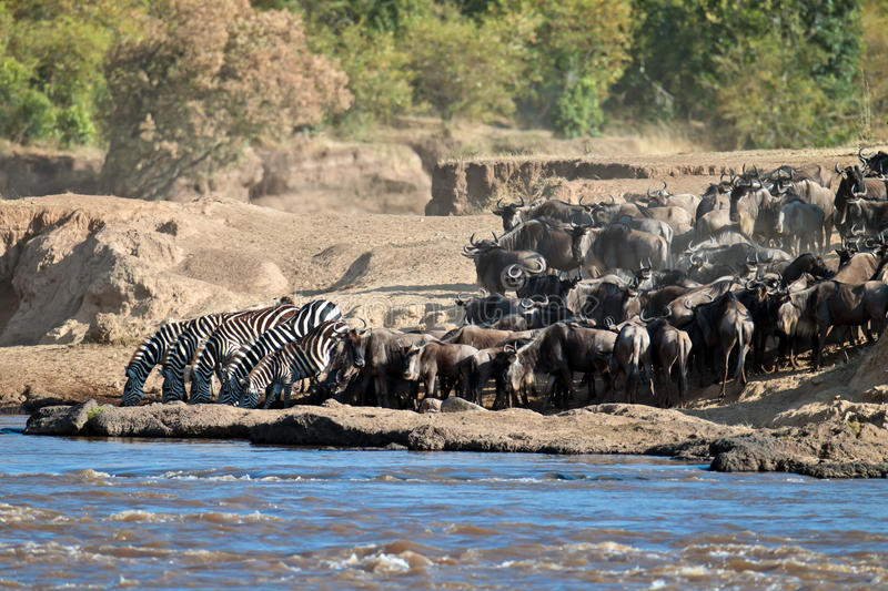 Download Group Of Zebras Drinking Water At The River Stock Image - Image: 15611495