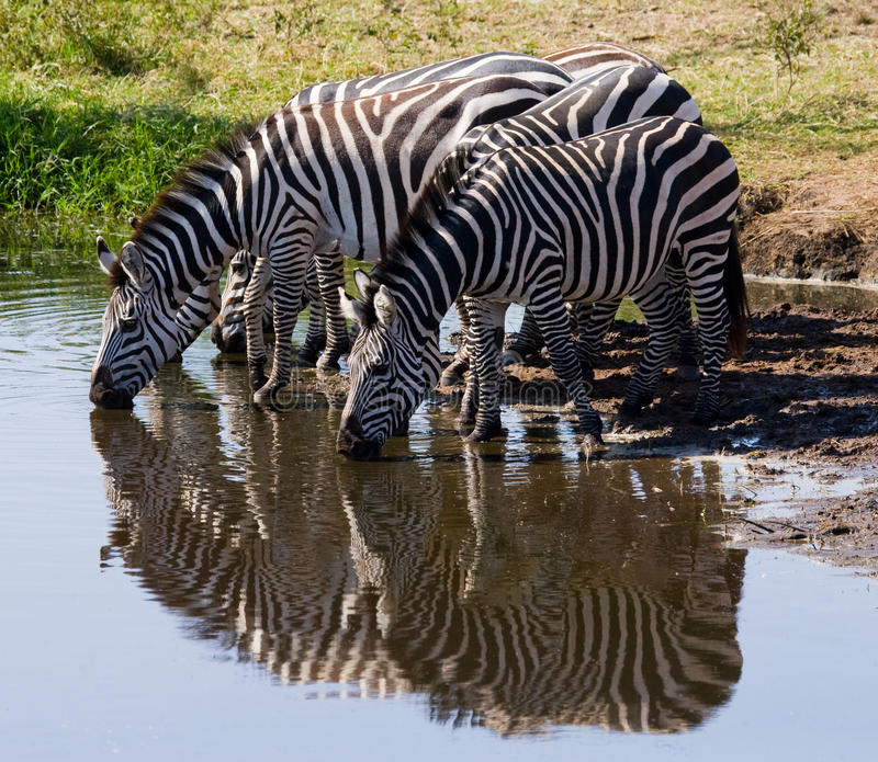 Group of zebras drinking water from the river. Kenya. Tanzania. National Park. Serengeti. Maasai Mara. An excellent illustration royalty free stock photography