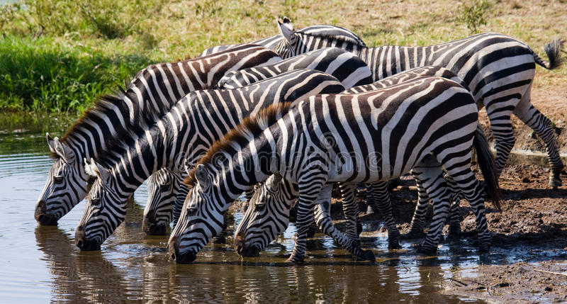Group of zebras drinking water from the river. Kenya. Tanzania. National Park. Serengeti. Maasai Mara. An excellent illustration stock images
