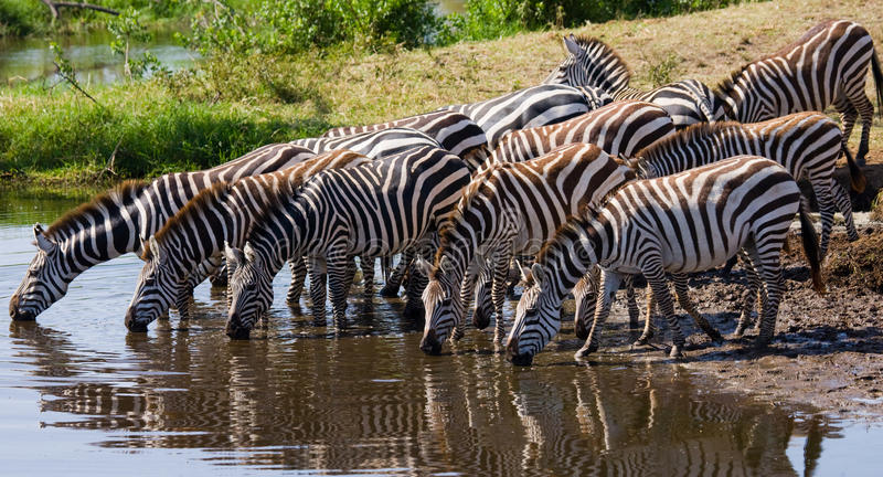 Group of zebras drinking water from the river. Kenya. Tanzania. National Park. Serengeti. Maasai Mara. An excellent illustration royalty free stock images