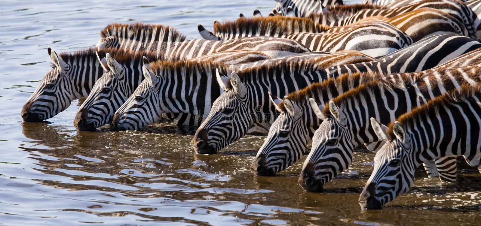 Group of zebras drinking water from the river. Kenya. Tanzania. National Park. Serengeti. Maasai Mara. An excellent illustration royalty free stock photos