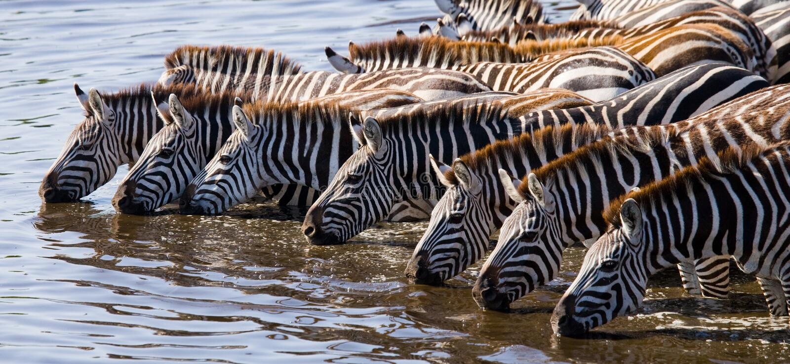 Group of zebras drinking water from the river. Kenya. Tanzania. National Park. Serengeti. Maasai Mara. An excellent illustration royalty free stock photo