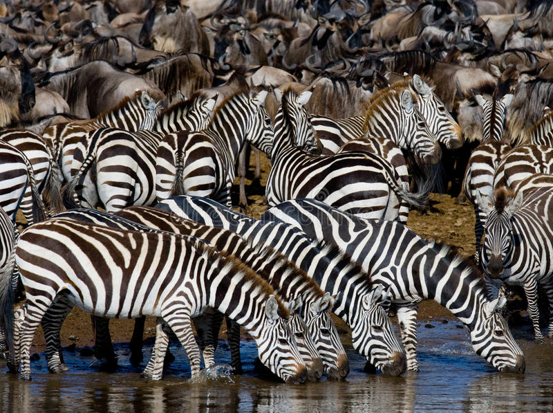 Group of zebras drinking water from the river. Kenya. Tanzania. National Park. Serengeti. Maasai Mara. An excellent illustration stock image