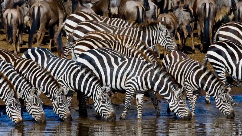 Group of zebras drinking water from the river. Kenya. Tanzania. National Park. Serengeti. Maasai Mara. An excellent illustration stock photo