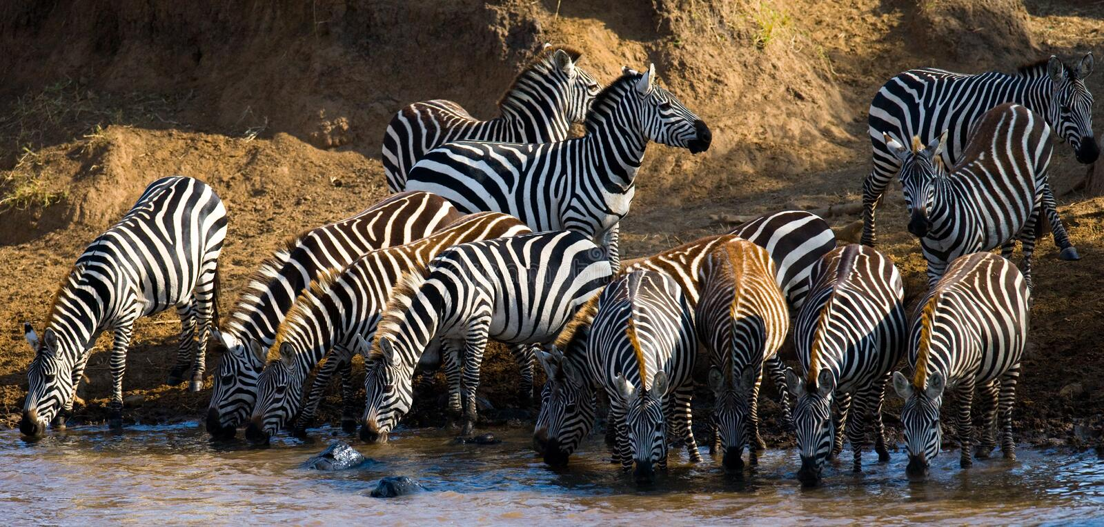 Group of zebras drinking water from the river. Kenya. Tanzania. National Park. Serengeti. Maasai Mara. An excellent illustration royalty free stock image