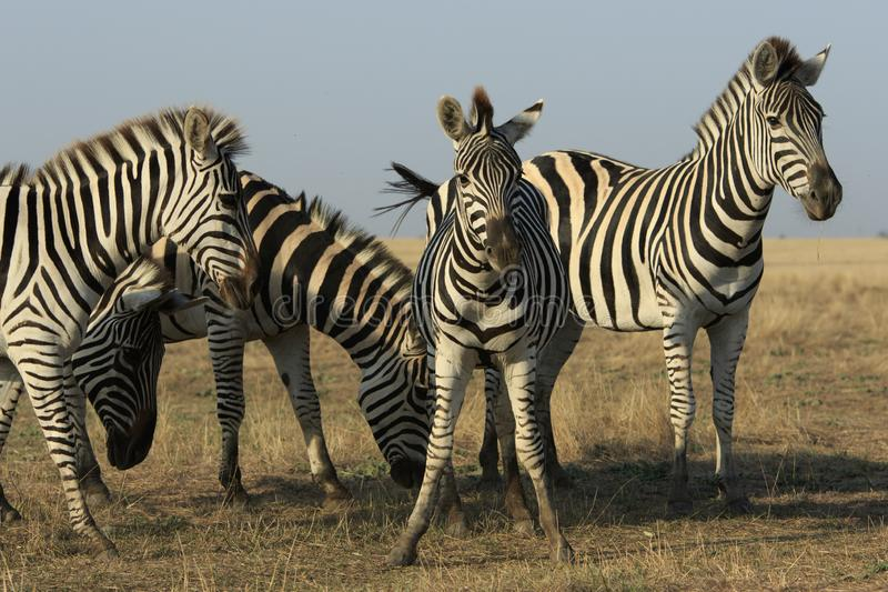 Group Of Zebras In a Dry Field royalty free stock photography