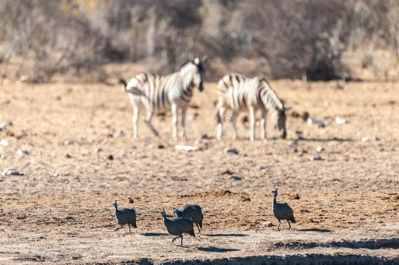 A group of Zebras in Etosha. Four Helmeted Guineafowl -Numida meleagris- fouraging near a waterhole in Etosha National Park, Namibia. Seen here against a royalty free stock photography