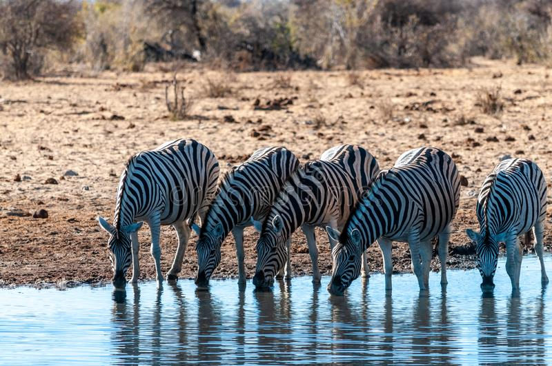 A group of Zebras in Etosha. A group of Burchell`s Plains zebra -Equus quagga burchelli- drinking from a waterhole in Etosha National Park, Namibia royalty free stock photography