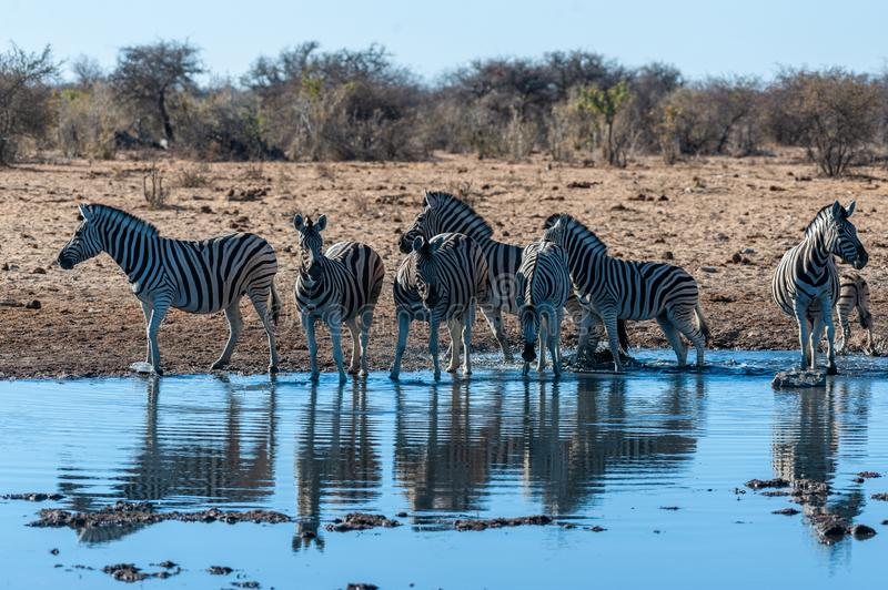 A group of Zebras in Etosha. A group of Burchell`s Plains zebra -Equus quagga burchelli- drinking from a waterhole in Etosha National Park, Namibia royalty free stock image