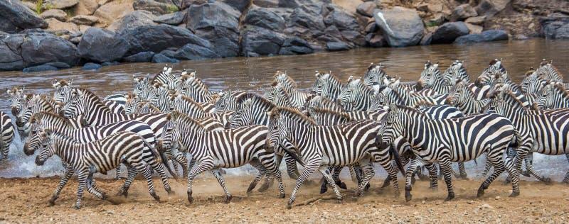 Group of zebras running across the water. Kenya. Tanzania. National Park. Serengeti. Maasai Mara. stock photos