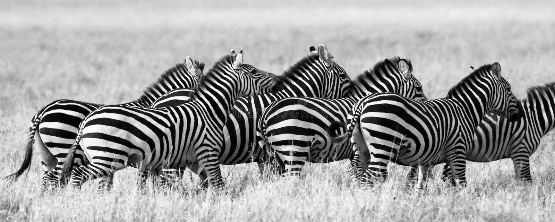 Group of zebras in the savannah. Kenya. Tanzania. National Park. Serengeti. Maasai Mara. An excellent illustration royalty free stock photo