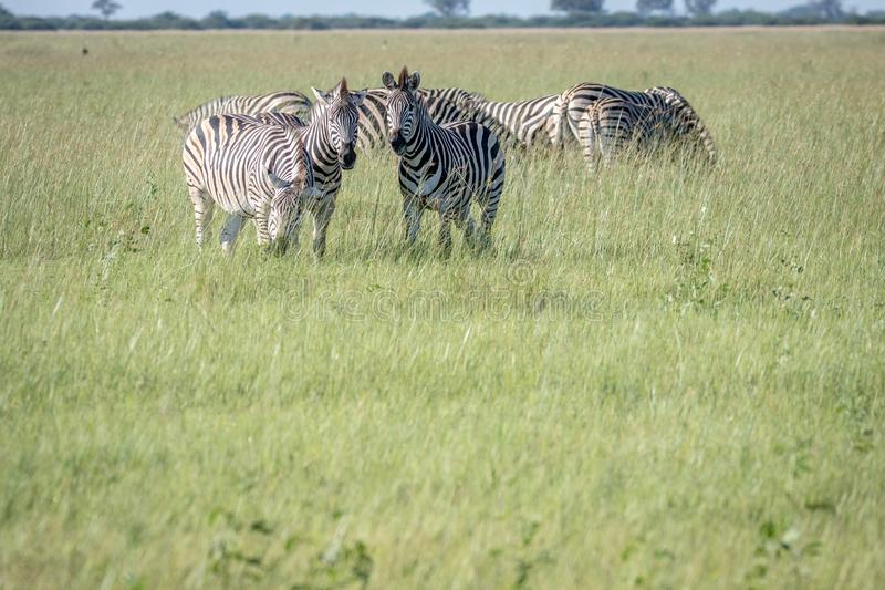 Group of Zebras standing in the grass. royalty free stock photos