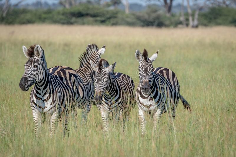 Group of Zebras standing in the grass. stock images