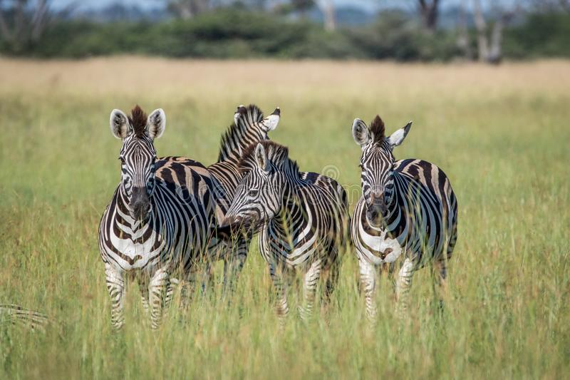 Group of Zebras standing in the grass. royalty free stock photography