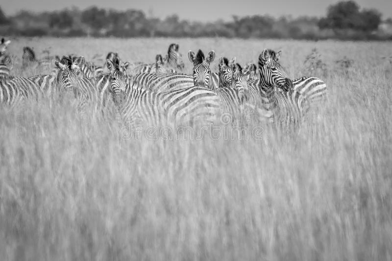 Group of Zebras standing in the high grass. royalty free stock photography