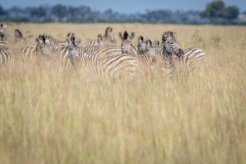 Group of Zebras standing in the high grass. royalty free stock photo