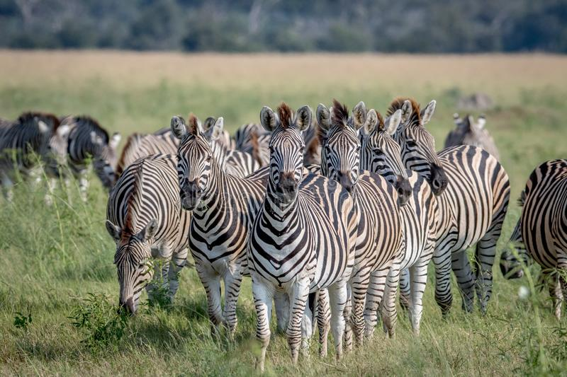 Group of Zebras starring at the camera. royalty free stock photos