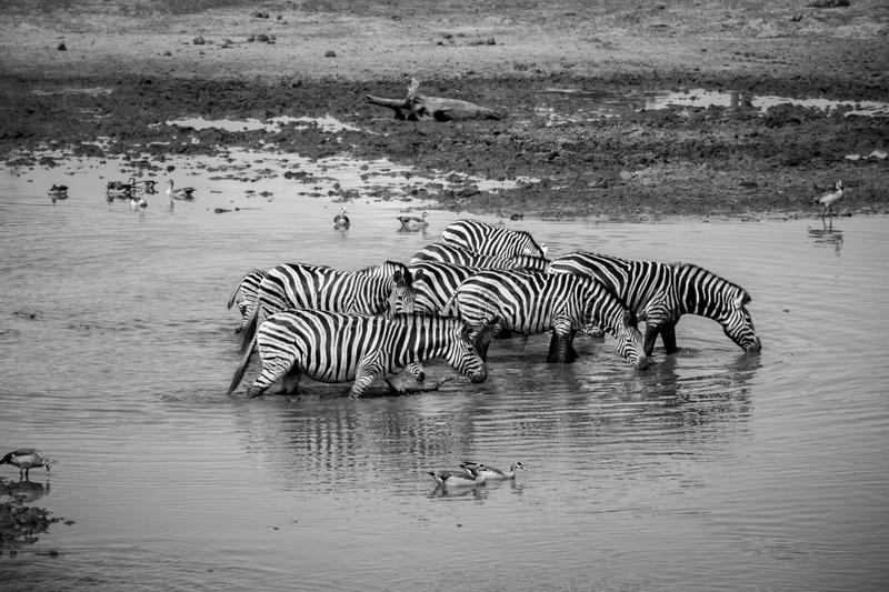 Group of Zebras walking through the water. royalty free stock photos