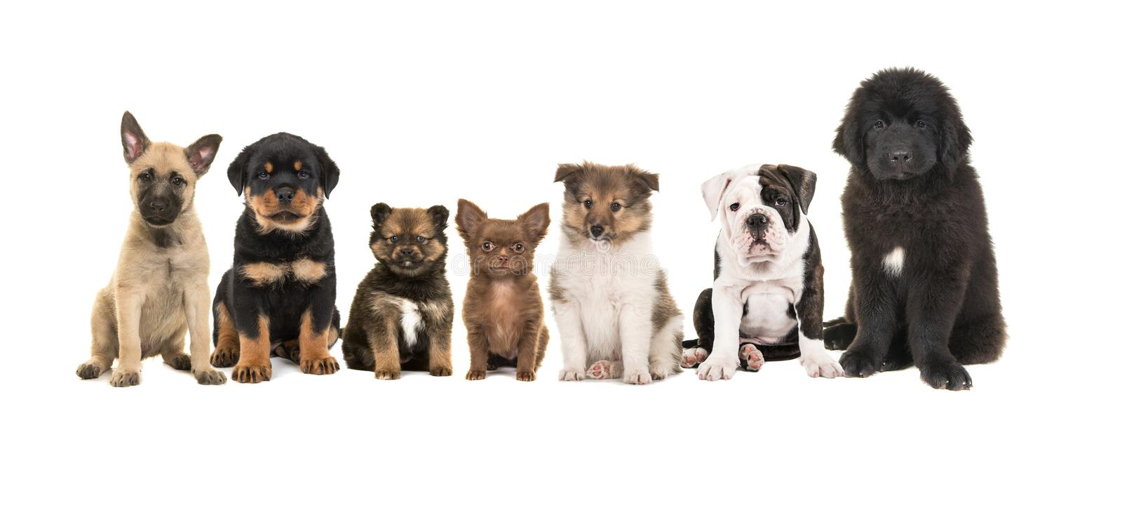 Group of zeven different puppies royalty free stock photo