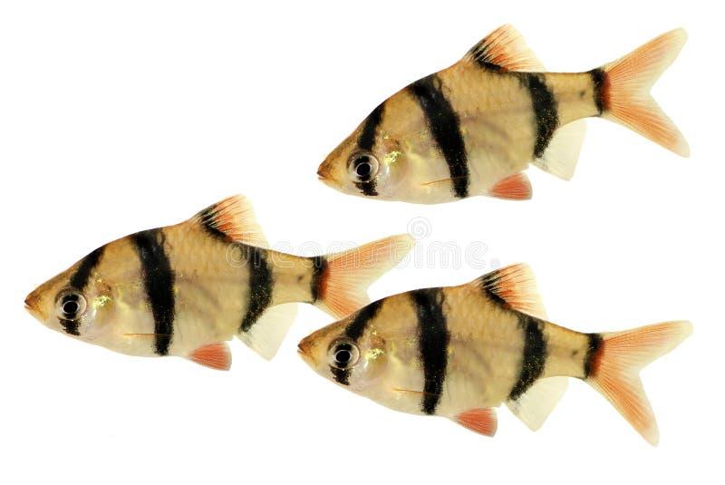 Groupd изолированных рыб аквариума tetrazona Puntius колючки тигра или колючки Суматры тропических стоковые изображения