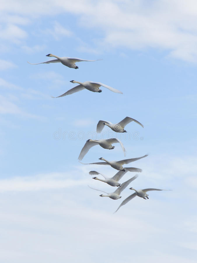 Groupd of Flying Swans royalty free stock photo