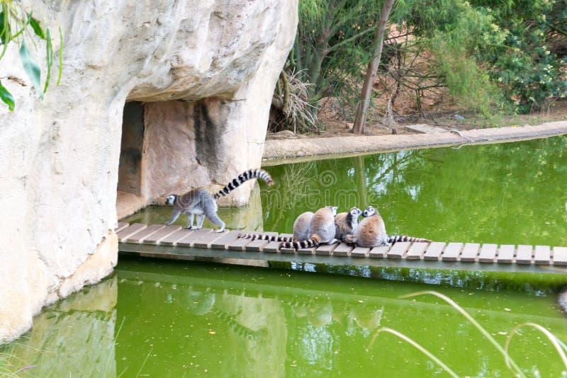 groupe Anneau-coupé la queue de lémur photos libres de droits