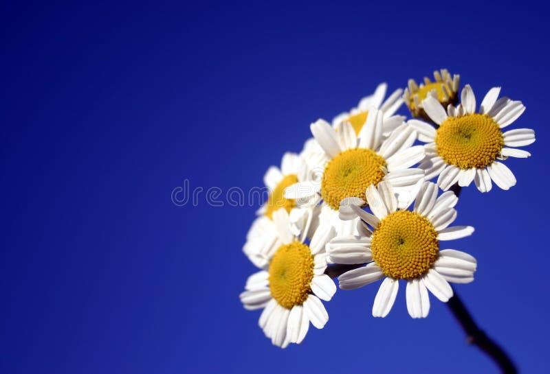 Groupe blanc de marguerites photos stock