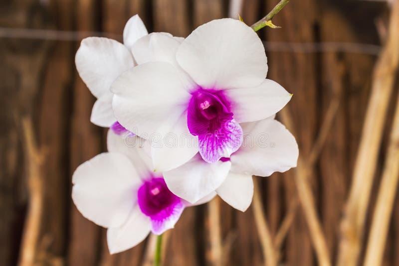 Groupe blanc et violet de fleur d'orchidée sur le fond en bois photos stock