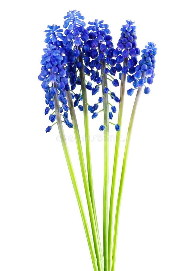 Groupe bleu de jacinthe de raisin de fleurs de muscari d'isolement sur le fond blanc images libres de droits