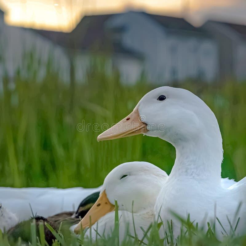 Groupe carré de cadre de canards avec les becs jaunes courts de plumes blanches et les petits yeux au beurre noir photographie stock