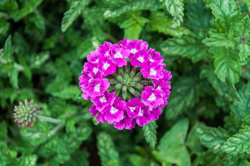 Groupe circulairement disposé de fleurs pourpres lumineuses image libre de droits