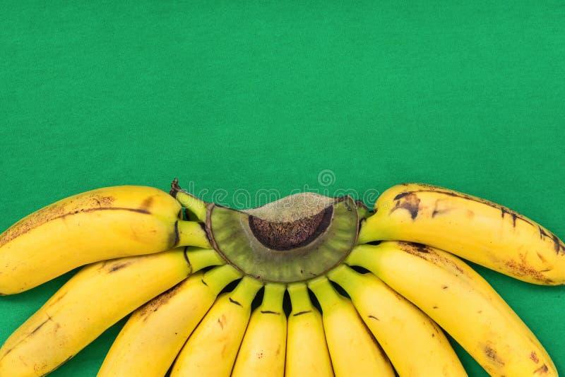 Groupe coloré mûr de Gros Michel Baby Bananas sur la branche sur le fond vert vibrant Beau semi modèle de cercle Régime sain images stock