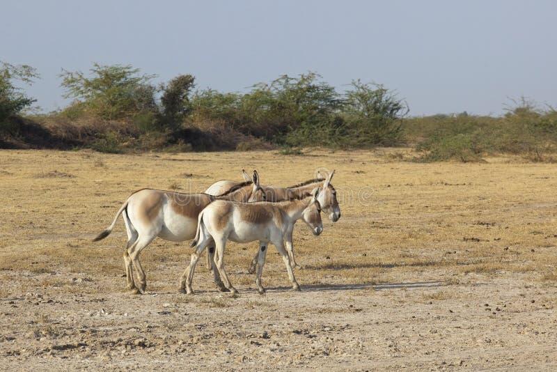Groupe d'ânes sauvages image libre de droits