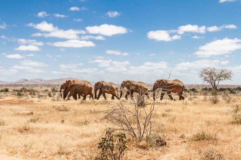 Groupe d'éléphants dans le Savana, parc national de Tsavo, Kenya image stock